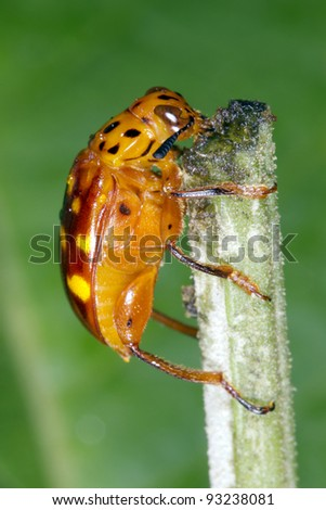 Orange beetle feeding on a plant stem in the rainforest