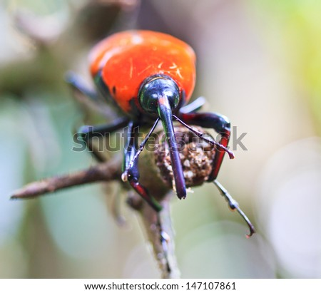 Orange beetle insects In tropical forests thailand - stock photo
