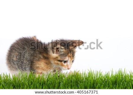 Orange black and white tricolor calico tortie tabby kitten lunging at grass with white background - stock photo