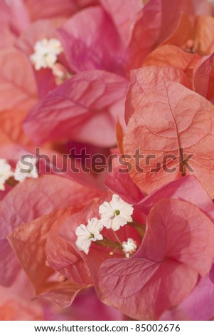 Orange bougainvillea flowers in macro. - stock photo