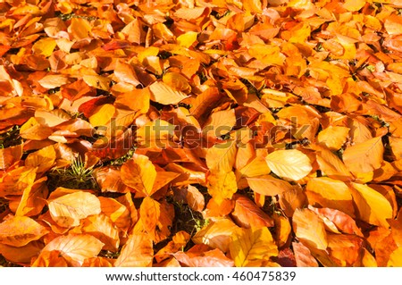 Orange-brown beech leaves on the ground; Vibrant colors of autumn; Vibrant beech foliage at sunny autumn day; Fall coloring - stock photo