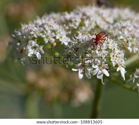 Orange Bug on Wild Carrot flower. - stock photo