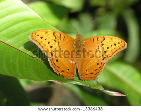 Orange Butterfly - stock photo