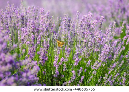 Orange butterfly with patterns on wings sits on lavender flower
