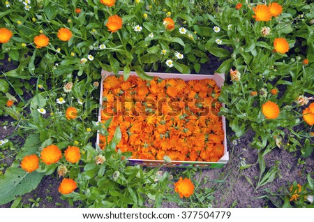 Orange calendula blooms collected in a wooden box in herb garden - stock photo