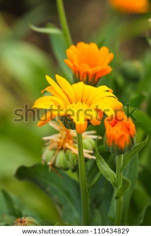Orange calendula in the field close up - stock photo