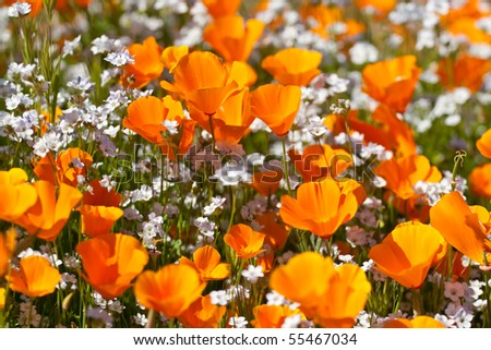 Orange California Poppies with white Popcorn flowers - stock photo