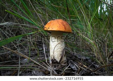 orange-cap boletus, edible mushroom (Leccinum Aurantiacum) - stock photo
