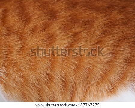 Orange cat fur.Thai Cat fur texture. - stock photo
