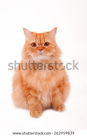 Orange cat / Garfield cat / sitting cat / collar / fur cat / persian cat /fat cat - stock photo