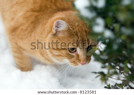 Orange cat on the snow sneaking behind a bush - stock photo