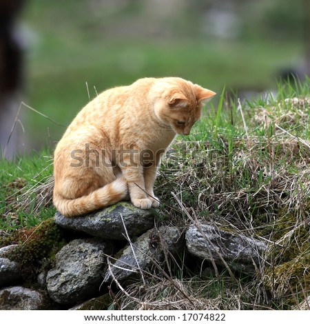 Orange cat sitting on a stone waiting for a mouse - stock photo