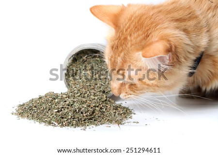 Orange cat smelling dried catnip spilled over from container on white background - stock photo