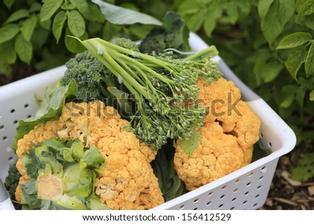 Orange cauliflower and green broccoli harvested in white basket.