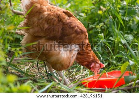 Orange chicken hen feeding on the green grass - stock photo