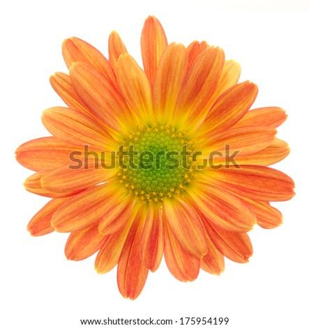 Orange chrysanthemum. Deep focus. No dust. No pollen. Please watch more flower heads in my portfolio.  - stock photo