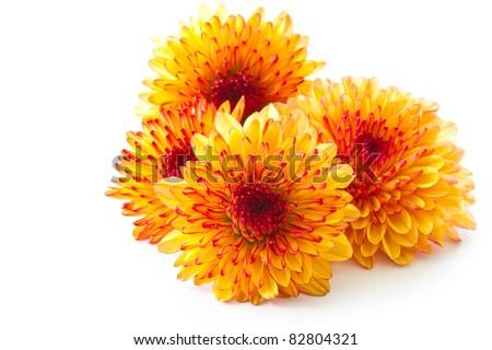 orange chrysanthemum isolated on a white background - stock photo