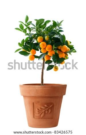 Orange (Citrus Fortunella) tree in Italian style flower pot isolated on white/Little orange tree in flower pot isolated/Little orange tree - stock photo