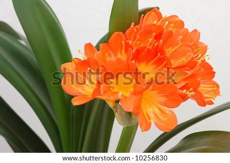 Orange clivia (Clivia miniata) - stock photo