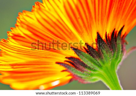 orange color flower in close up - stock photo