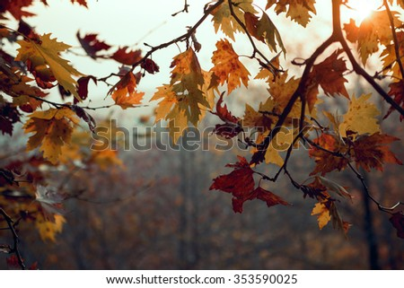 Orange colored dry leaves in fall. - stock photo