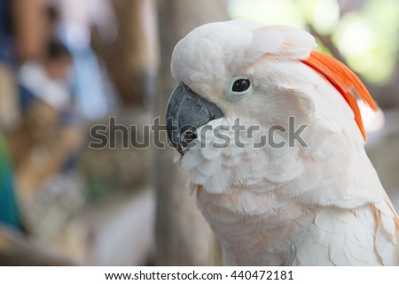 Orange-crested Cockatoo