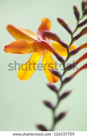 Orange crocosmia on light green background. - stock photo