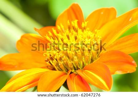 Orange Dahlia - stock photo