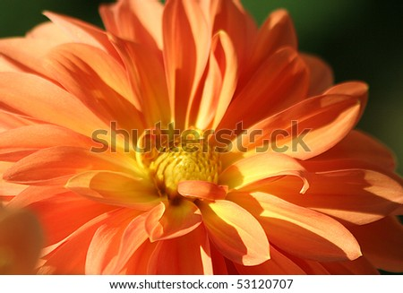 Orange dahlia flower closeup - stock photo