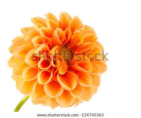 orange dahlia on white background - stock photo