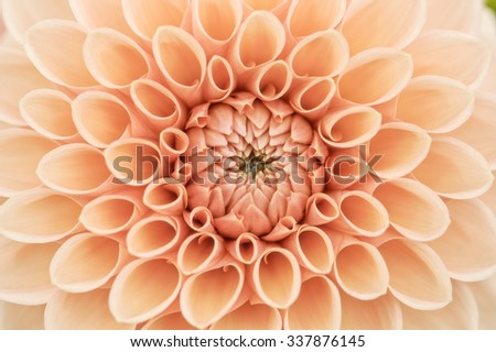 Orange dahlia petals macro, floral abstract background. Shallow DOF. High key. - stock photo
