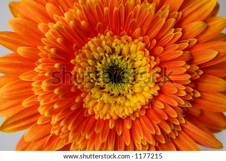 Orange daisy flower on black background