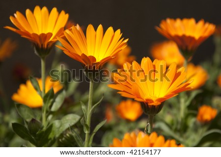 Orange Daisy flowers with different focus - stock photo
