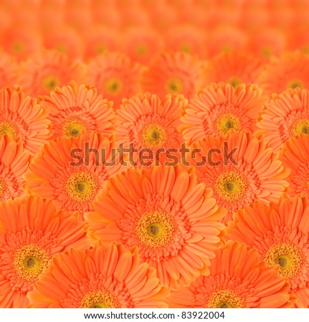 Orange daisy-gerbera as background and pattern