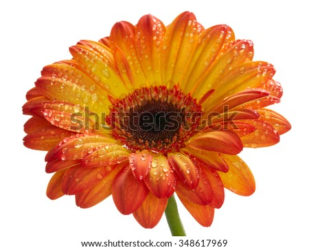 Orange daisy gerbera flower with waterdrops. Isolated on white - stock photo