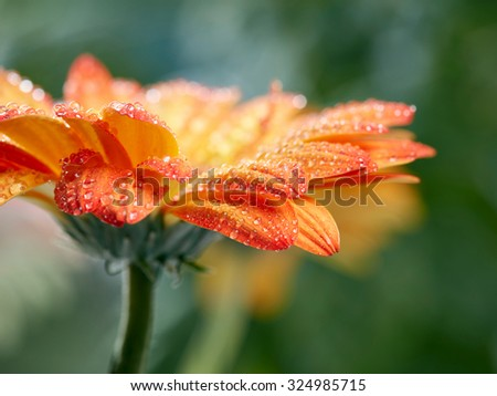 Orange daisy gerbera flower with waterdrops over green background - stock photo