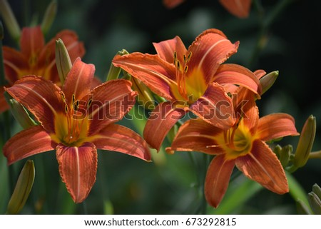 Orange day lilies at the peak of their June bloom in a home garden in Ohio