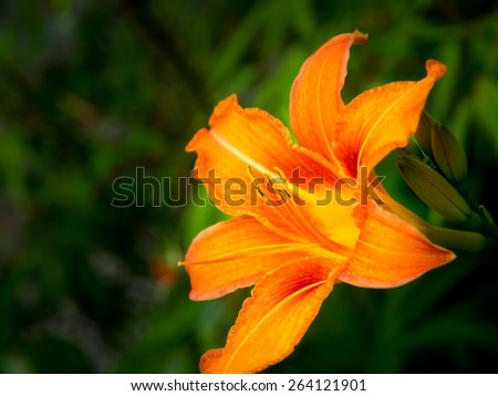 orange day lily (hermerocallis), macro with green background. shallow DOF, focus on the anthers - stock photo