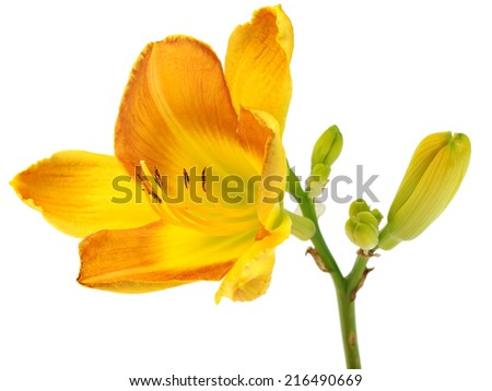 Orange daylily on a white background - stock photo