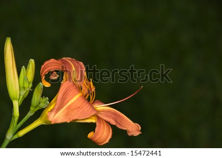 Orange Daylily with buds on dark green background - stock photo