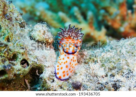 Orange dotted slug (Risbecia ghardaqana) in the Red Sea, Egypt. - stock photo