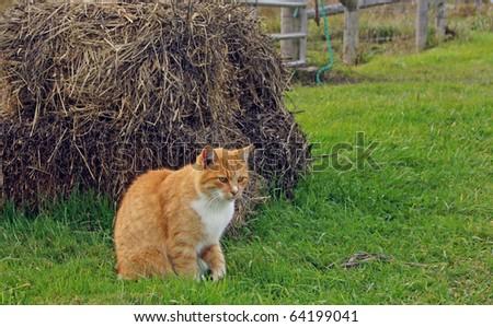 Orange farm cat prepares to pounce - stock photo
