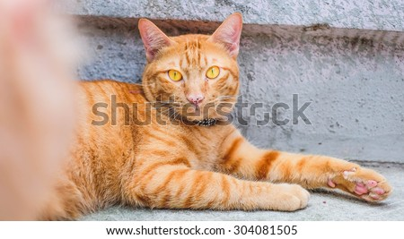 Orange Fat Cat Yellow Eye Portrait  - stock photo