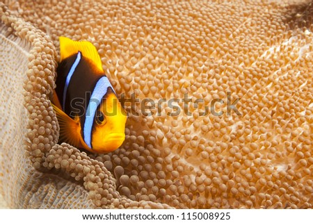 Orange-finned Anemonefish (Amphiprion chrysopterus) on it's anemone on a tropical coral reef off the islands of Palau in Micronesia. - stock photo