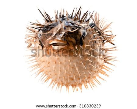 Orange fish-hedgehog isolated on white - stock photo