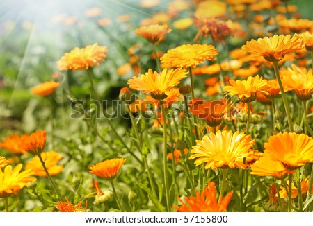 Orange Flower. Calendula - stock photo
