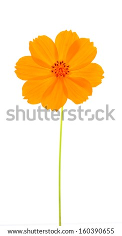 orange flower ( Cosmos flower ) on white background