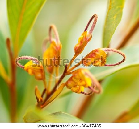 orange flower of Australian wildflower Grevillea venusta - stock photo
