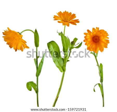 orange flower of calendula marigold close up macro Isolated on white background  - stock photo