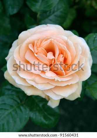 Orange flower of Rosa Indian Summer - stock photo